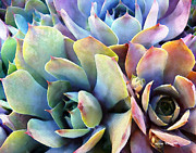 Cactus Metal Prints - Hens and Chicks series - Soft Tints Metal Print by Moon Stumpp