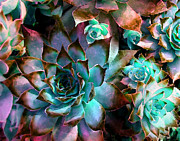 Flower Photographs Metal Prints - Hens and Chicks series - Verdigris Metal Print by Moon Stumpp