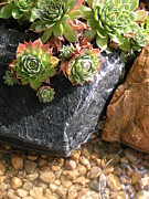Rocks Pastels - Hens and Chicks Succulents by Tracy L Teeter