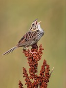 Colliseum Photos - Henslow Sparrow by Daniel Behm