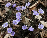 Doris Potter - Hepatica