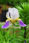 Her Majesty Iris  Print by Steve Augustin