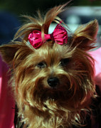 Small Dogs Framed Prints - Her Pinkness Framed Print by Steven  Digman