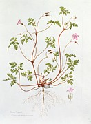 Pink Flower Branch Paintings - Herb Robert by Diana Everett