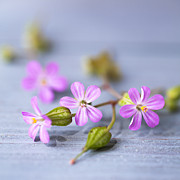 Herb Robert Print by Jan Bickerton