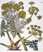 1819 Photos - Herbal: Fennel, 1819 by Granger