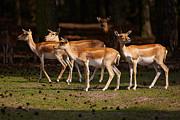 Nick  Biemans - Herd of Blackbuck Antilopes in a dark forest