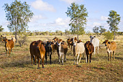 Steer Prints - Herd of Brahman Cattle in Outback Queensland Print by Colin and Linda McKie