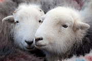 March Photos - Herdwick Sheep by John Potter