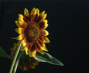 Plants From My Garden - Here Comes The Sun Flower by Tom Wurl
