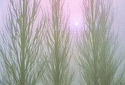 Bare Trees Mixed Media Metal Prints - Here Comes the Sun - Winter Poplars in Fog 1 Metal Print by Steve Ohlsen