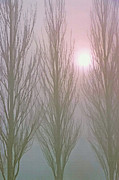 Bare Trees Mixed Media Metal Prints - Here Comes the Sun -  Winter Poplars in Fog 3 Metal Print by Steve Ohlsen
