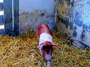Amish Farms Photos - Here Piggy Piggy by Annie Zeno
