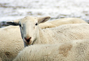 Hair Sheep Photo Prints - Heres lookin at you Print by Photographic Arts And Design Studio