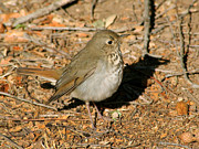 Bob and Jan Shriner - Hermit Thrush