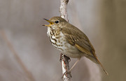 Hermit Prints - Hermit Thrush Print by Mircea Costina Photography
