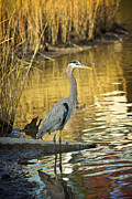 Joan Mccool Metal Prints - Heron along the Bayou Metal Print by Joan McCool
