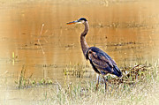 Heron At Sunset Print by Marty Koch