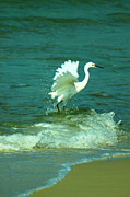 Panama City Beach Framed Prints - Heron Dancing Lift-off Framed Print by Rebecca LaChance