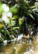 Michelle Wiarda - Heron Fishing