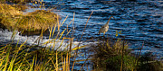 Mick Anderson - Heron Fishing