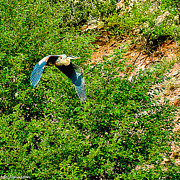 Heron Flies Over Oak Creek In Red Rock State Park Sedona Arizona Print by Nadine and Bob Johnston