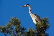 Nick  Biemans - Heron high up in a pine tree