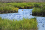 Salt Marsh Posters - Heron in a Salt Marsh Poster by Bill Cannon