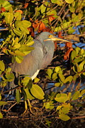 Heron Art - Heron In Afternoon Light by Bruce J Robinson