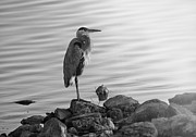 Herodias Photo Framed Prints - Heron in Black and White Framed Print by Betty LaRue