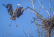 Bird Rookery Swamp Posters - Heron Landing on Nest Poster by Everet Regal