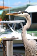 Heron On A Dock Print by Theresa Willingham