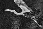 Deborah Benoit - Heron On The Move Up...