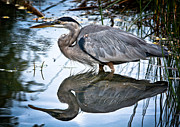 Cheryl Baxter Metal Prints - Heron Reflecting Metal Print by Cheryl Baxter