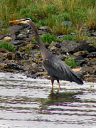 Great Birds Prints - Heron  Print by Robert Bales