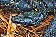 Cult Photos - Herpetology - The Snake  by Paul Ward