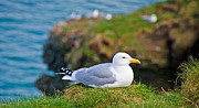 Herring Prints - Herring Gull at Rest Print by Chris Thaxter