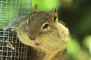 Squirrels Framed Prints - Hey Check Out My Big Cheeks Framed Print by Jeff  Swan