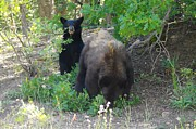 Black Bear Cubs Prints - Hey Mom Save Some For Me  Print by Jeff  Swan