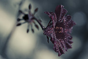 False Prints - Hibiscus acetosella Print by Sharon Mau
