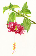 Hibiscus Chinese Red Lantern Print by Sharon Freeman
