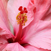 Vero Posters - Hibiscus Flower Close Up Poster by Sabrina L Ryan