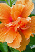 Hibiscus Photos - Hibiscus Flower by Diane Bell