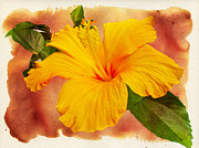 Mango Posters - Hibiscus - Mango Sunshine Poster by Mother Nature