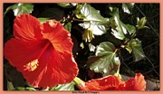 Florals On Canvas Posters - Hibiscus Red Poster by Bobbee Rickard