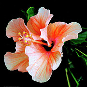 Black Background Digital Art - Hibiscus Spectacular by Ben and Raisa Gertsberg