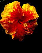 Hibiscus Print by Terry Johnson
