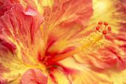 Hibiscus Print by Tony Cordoza