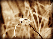 Macro Photograph Originals - Hickory Tussock Caterpillar  by Jessica Grandall