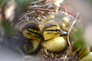 Baby Mallards Photo Framed Prints - Hidden Framed Print by Deb Halloran